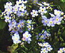 Forget-me-not, Alaska's State Flower!