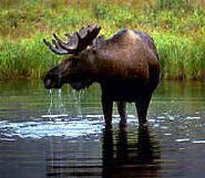Moose, Alaska's official Land Mammal.